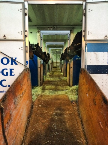row of connected horse vans with horses looking out of stalls