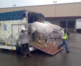 horse exiting airplane box stall