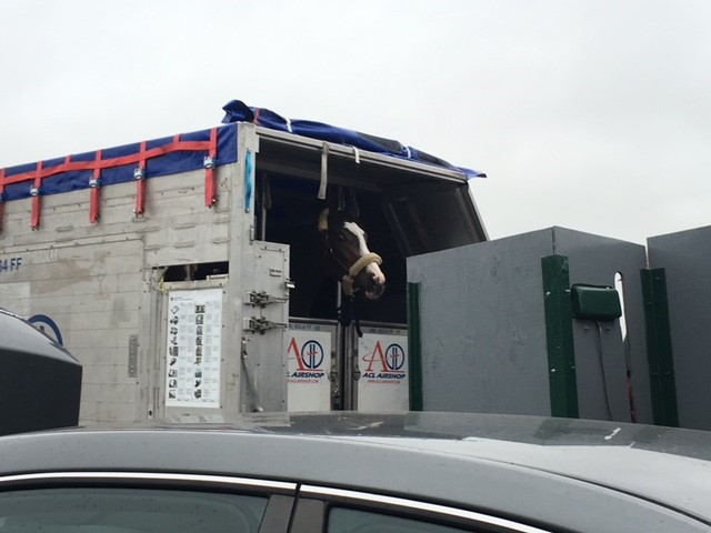 horse in airplane box stall
